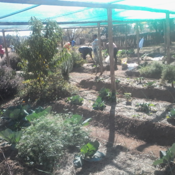 Harvesting a Gardens For Homes project with Tiger Brands