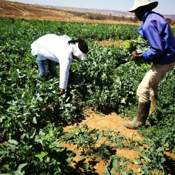 Shoprite partners with Kransvley Farmers' Cooperative